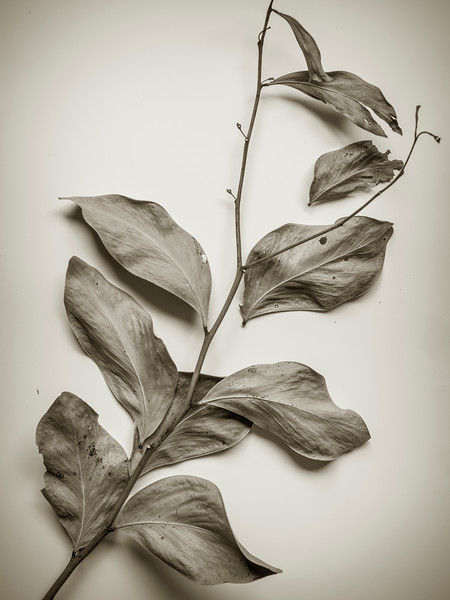 20180520 gum leaves 1883  .JPG