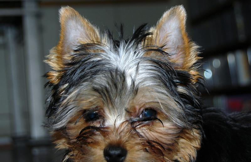 025 Yorkshire Terrier at 15 weeks.jpg