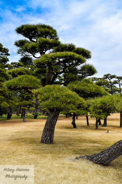 Japanese Trees in the Imperial Palace Gardens