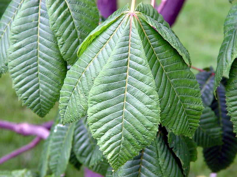 Pink Chestnut Tree Leaf