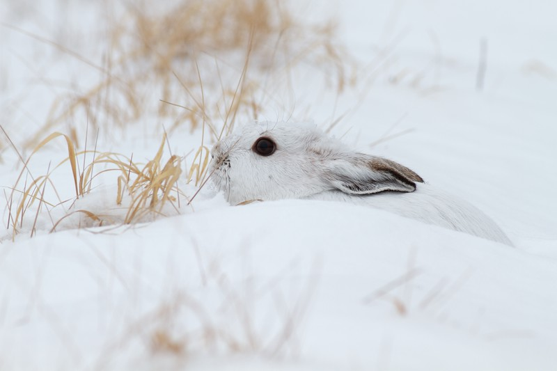 Snowshoe Hare Lepus americanus CR52-Arkola Sax-Zim Bog MN Snowshoe Hare Sax-Zim Bog MN IMG_0002136.jpg