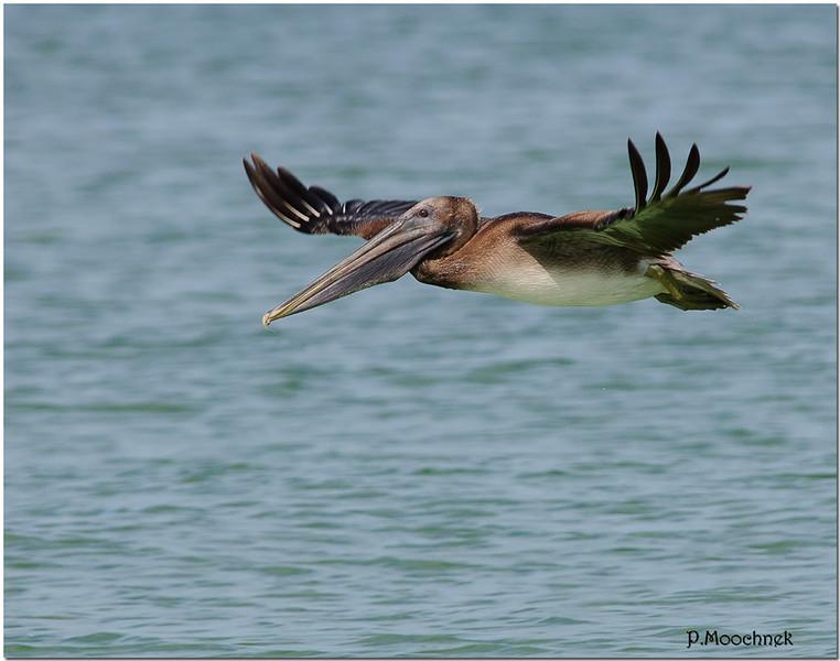 pelicanflight1.jpg