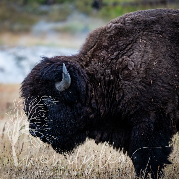 wlc Yellowstone 0919 4242019.jpg