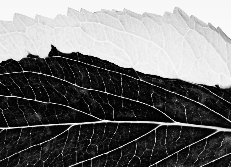 variegated-hydrangea-01.jpg