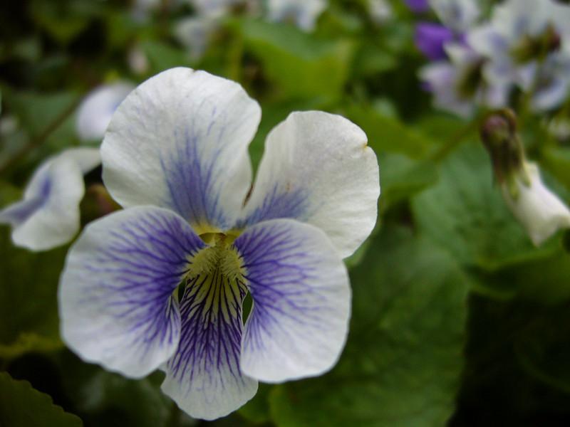 Violet4-4-20-08.JPG