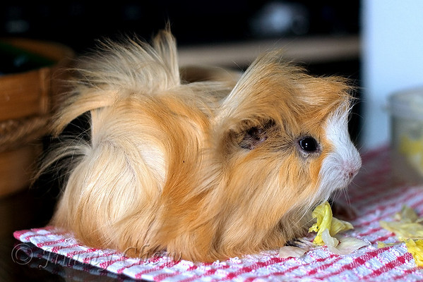 Guinea Pig - Year of the Rat 2008