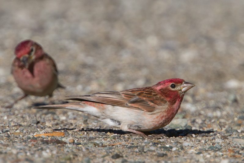 Cassin's Finch - Yuba Pass, CA, USA