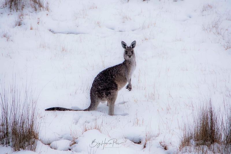 Roo in snow Aug 8- 4_1.jpg