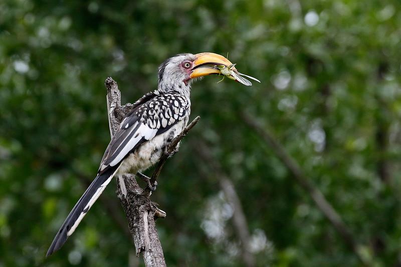 Southern Yellow-billed Hornbill 1702269789.jpg