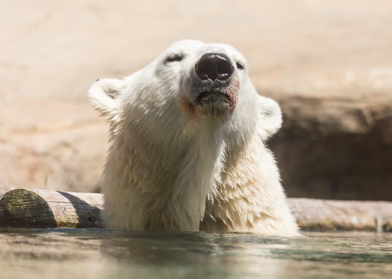polar bear (27 of 50).jpg