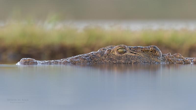 Nile Crocodile, Zimanga, South Africa, May 2017-5.jpg