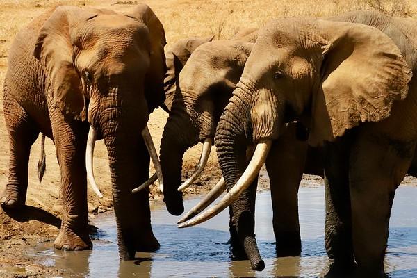 Elephants at Watering Hole, Selenkay Conservancy