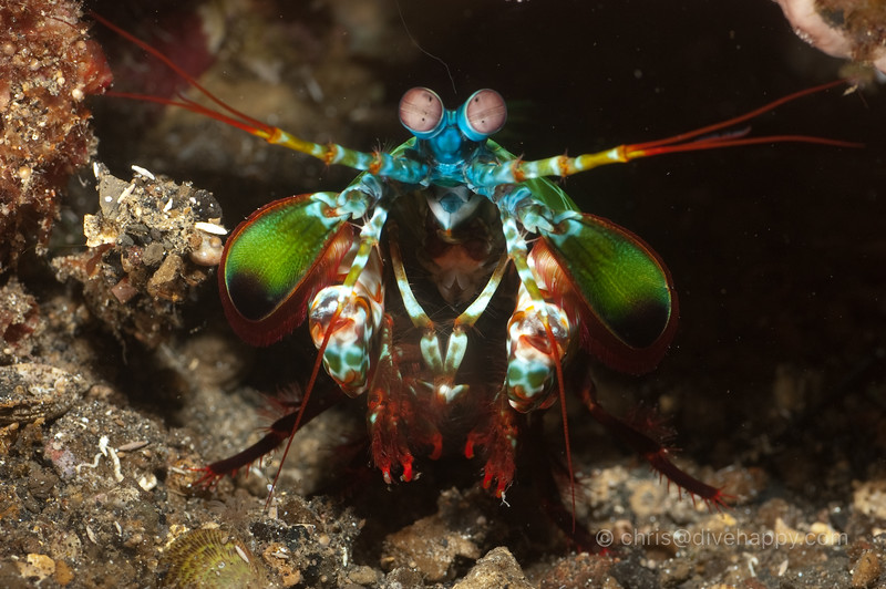 Mantis shrimp, Banda Islands, Indonesia