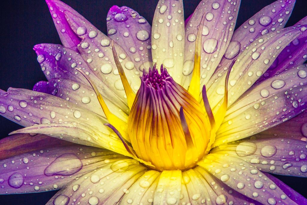 莲花,近距特写