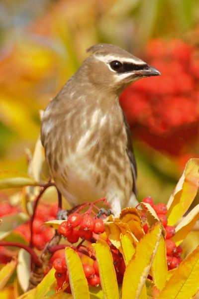 Waxwing - Cedar - juvenile - Palisade Head - North Shore, MN