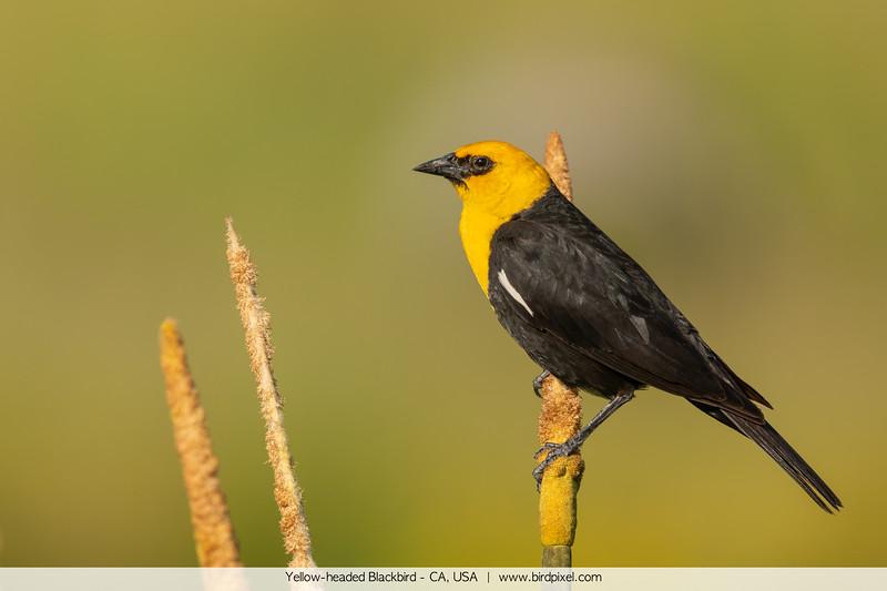 Yellow-headed Blackbird - CA, USA