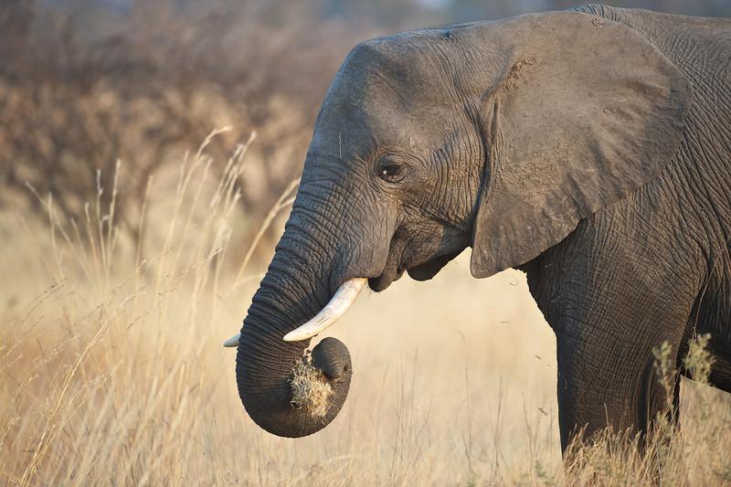 Female elephant, Kwondo Lagoon, Botswana