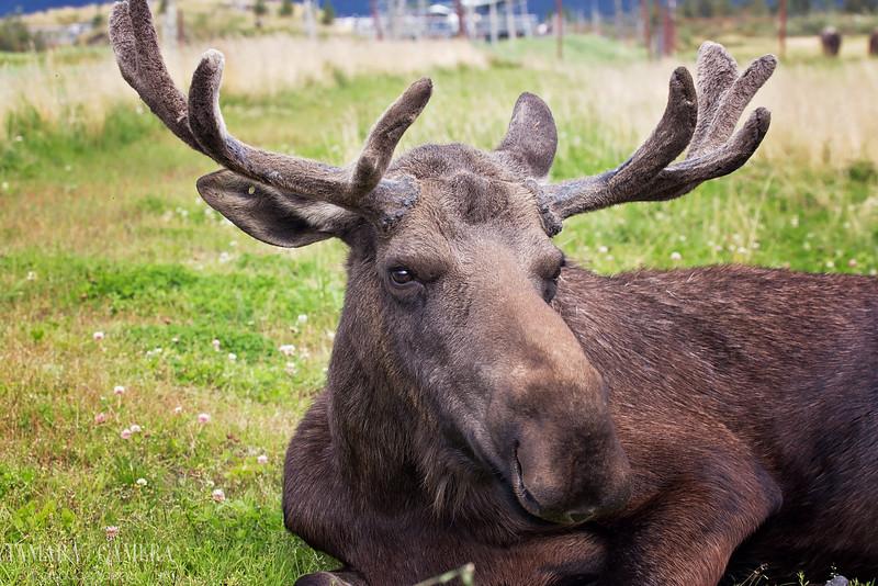 Moose6-12-2.jpg