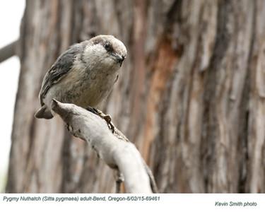 Pygmy Nuthatch A69461.jpg