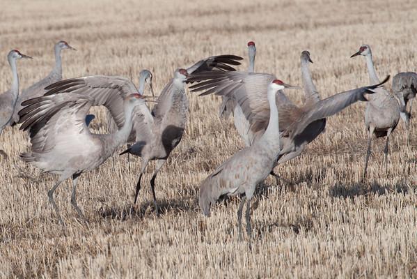 Monte Vista Cranes 2010