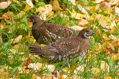 Two Female Blue Grouse October 2013, Cynthia Meyer, Tenakee Springs, Alaska