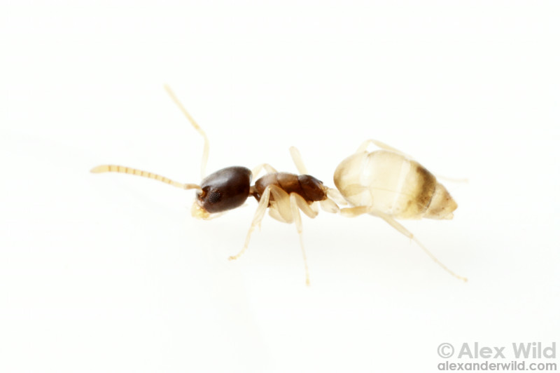 The aptly-named Ghost Ant, Tapinoma melanocephalum, is a house pest in warmer climates around the world. The species is instantly recognizeable by its small size and distinct translucent coloration.  Maquipucuna reserve, Pichincha, Ecuador