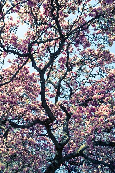 Magnolia grace II