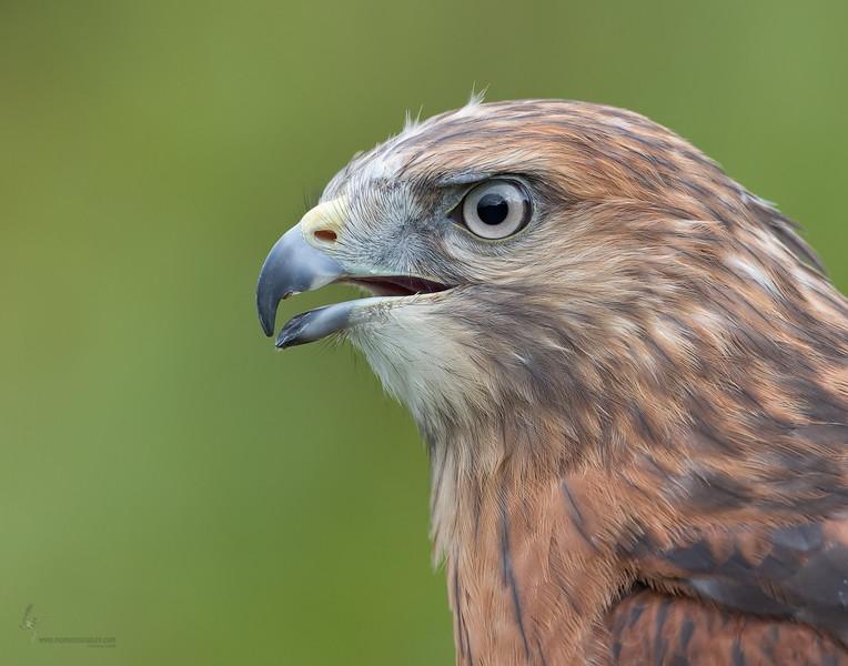 """Gavin"" Red-shouldered Hawk (captive)Medina Raptor Center, Ohio"