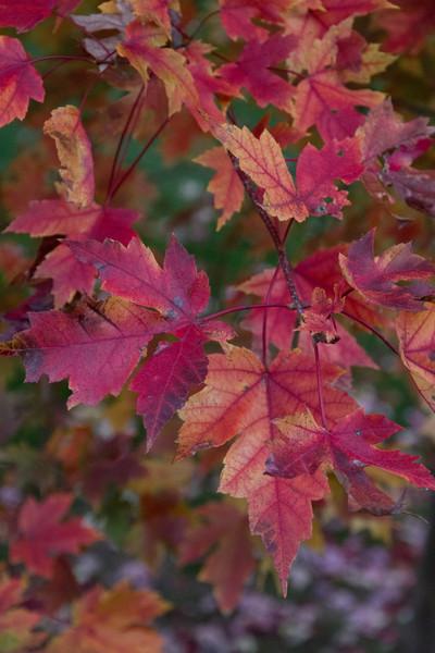 2010 11 01 Fall Maple Leaves 036.jpg