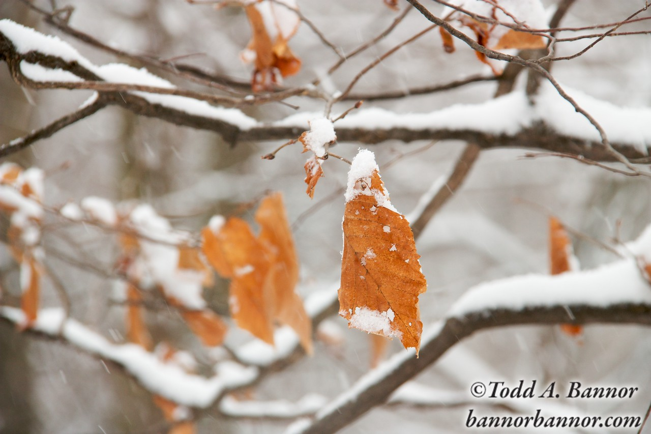 Autumn leaves still hanging on branches covered with snow