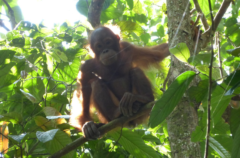 Sepilok Orang Utan Sanctuary, Borneo (Apr 12, 2014)