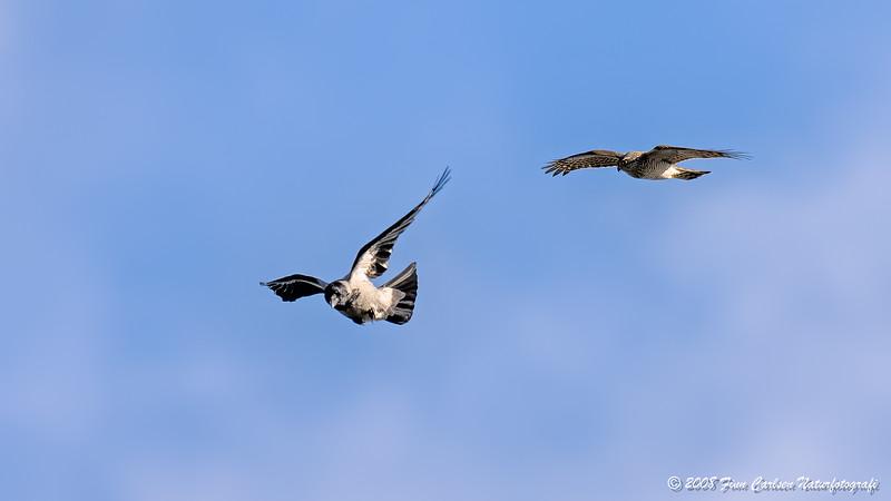 Spurvehøg (Accipiter nisus - Eurasian Sparrowhawk) - Gråkrage (Corvus cornix - Hooded Crow)