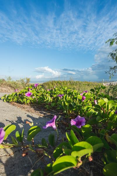 Salt marsh morning glory flowers bathe in the morning sunlight on the University Beach.
