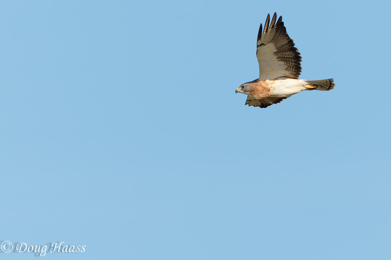 Swainson's Hawk Adult Light Morph Buteo swainsoni taken Saturday afternoon off Port Road in Pasadena, TX?