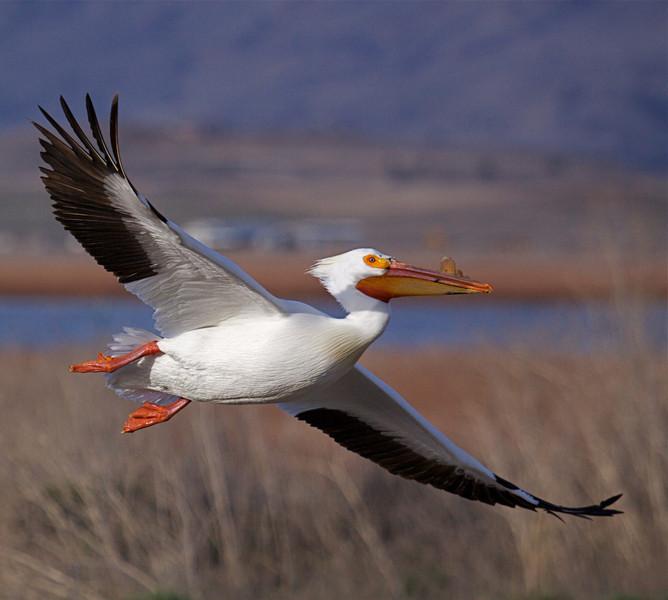 Pelican; Klamath NWR.jpg