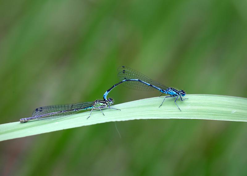 Azure damselflies mating