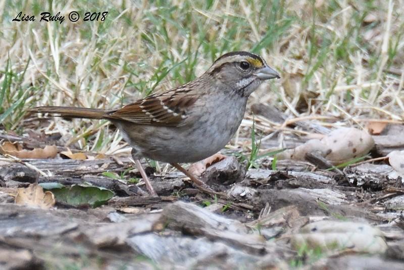 White-throated Sparrow  - 1/7/2018 - Dos Picos County Park