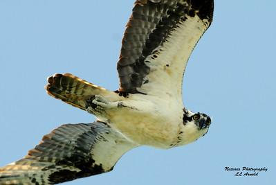 Osprey at Lima Lake