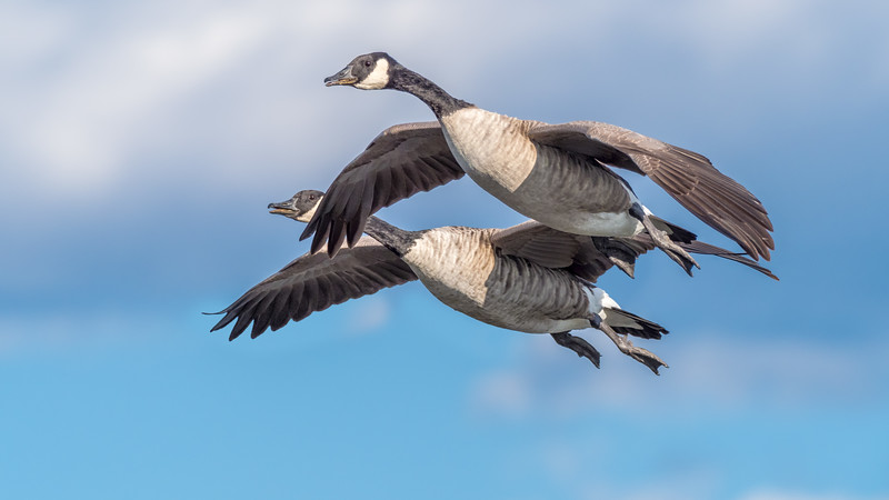 020010 Geese Aloft Two 16x9.jpg