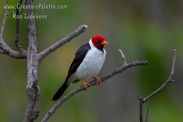 Yellow-billed Cardinal (Paroaria capitata)