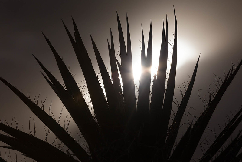Fanning Yucca