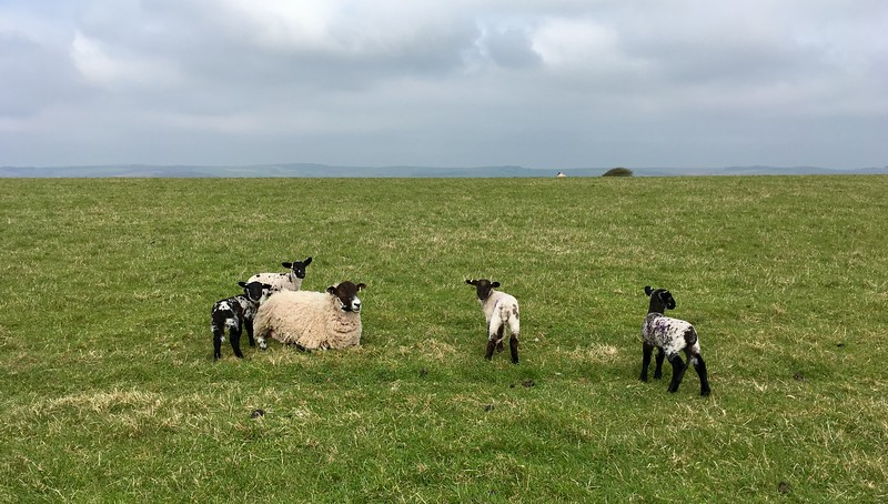 Freshly made lambs ^_^
