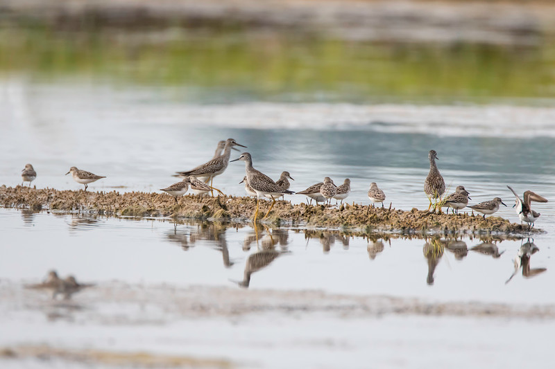 Mixed peeps and Lesser yellowlegs