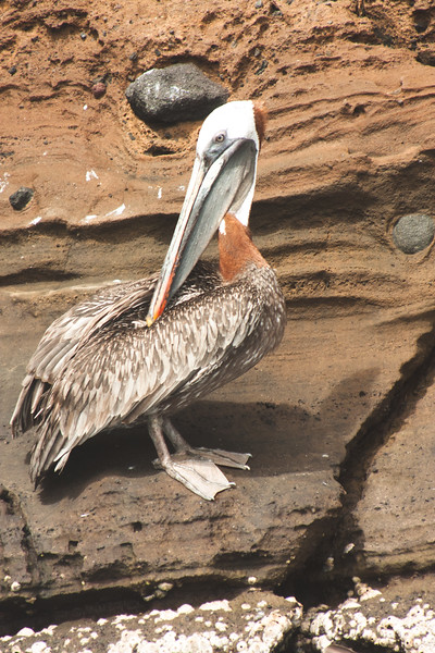 Pruning Pelican : Journey into Genovesa Island in the Galapagos Archipelago