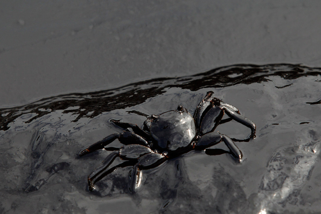 . A crab covered in oil slick is seen at Ao Prao Beach in Koh Samet, Rayong July 30, 2013. Crude oil that leaked from a pipeline in the Gulf of Thailand over the weekend has reached a Thai tourist resort, pipeline operator PTT Global Chemical Pcl said on Monday. Around 50,000 liters of crude oil poured into the sea on Saturday around 20 km (12 miles) off the coast of Rayong, southeast of the capital Bangkok. REUTERS/Athit Perawongmetha