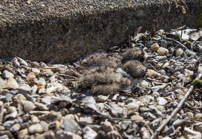 Killdeer-twobabies-nest.jpg