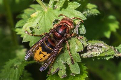 Wasps (Vespidae) ~ Gedehamse