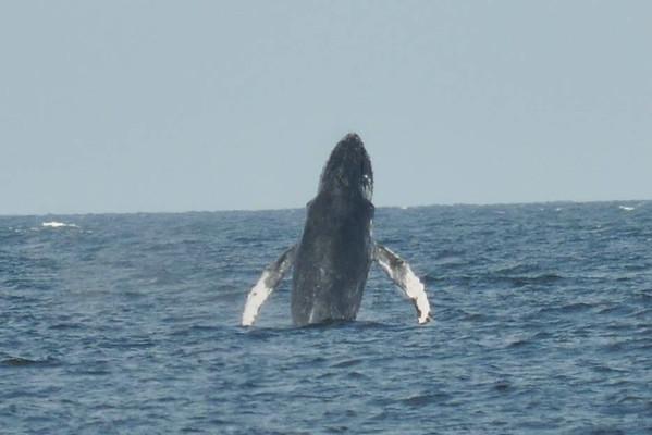 Whales!!! (Gillian MacDonald's photos)