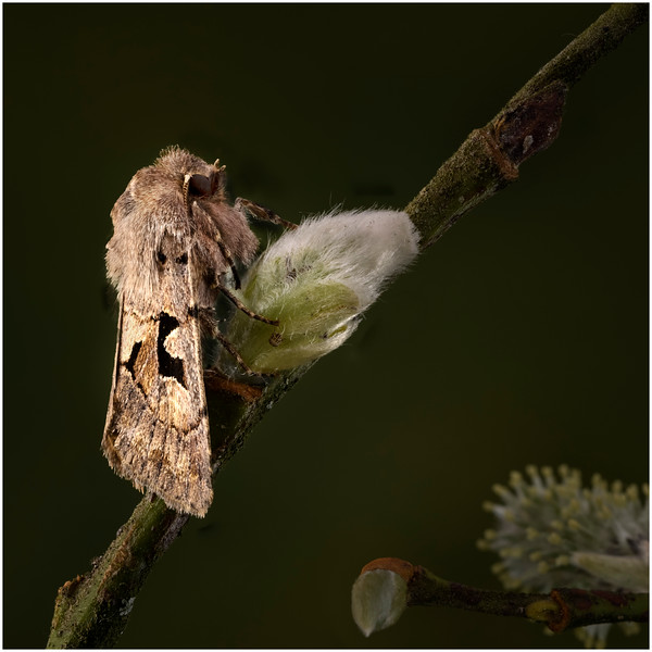 Nocturnal Pollinator (Hebrew character)