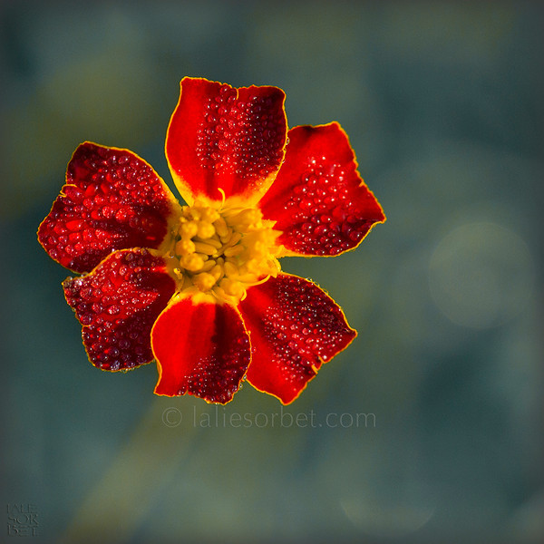 Marigold at dawn. Oeillet d'Inde à l'aurore.